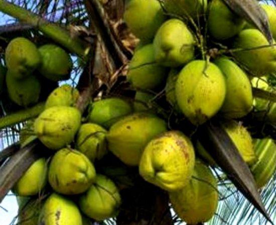 fp_txd_coconut-1000x1000.jpg